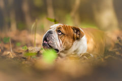 Dreamy photo of dog in autumn Stock Image