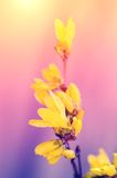 Dreamy photo of forsythia flower Stock Images
