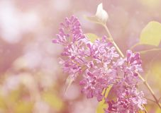 Dreamy photo of lilac branch Stock Images