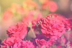 Dreamy photo of rose Royalty Free Stock Photo