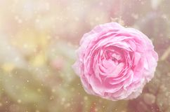Dreamy photo of a rose flower stock photography