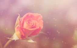 Dreamy photo of a rose Royalty Free Stock Photography