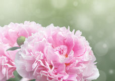 Dreamy pink peonies. Beautiful dreamy floral background with pink peony flowers, bokeh and light effects Royalty Free Stock Photos