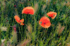Dreamy Poppies in the Sun. French countryside painted in red. Early summer has arrived and the countryside in Provence is donning its red dress. Its a symphony royalty free stock image