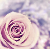 Dreamy rose abstract background. Beautiful fresh violet flower, floral style image, closeup on nature, tender plant, shallow dof stock photography