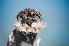 Dreamy Schnauzer on a blue background Royalty Free Stock Images