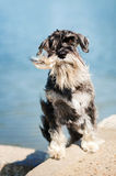 Dreamy Schnauzer on a blue background Stock Image