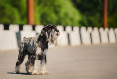 Dreamy Schnauzer standing at bridge Royalty Free Stock Image