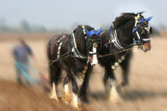 Dreamy Shires. A team of two Shirehorses plowing ,background dreamy soft focus effect,horses in sharp focus Stock Photos