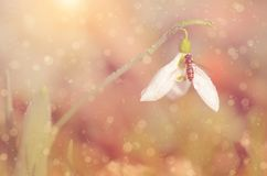 Dreamy snowdrop flower Royalty Free Stock Image