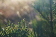 Dreamy soft background. Extreme closeup with pine needles royalty free stock images
