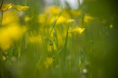 Dreamy field of yellow field flowers in green grass stock image
