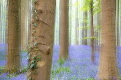 Dreamy soft focus image of a spring forest. Full of violet bluebells royalty free stock photo