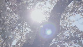 Dreamy Spring Blossom Sunshine. Medium wide low angle high dynamic range shallow depth of field tracking slider shot zooming in on the top of a tree trunk stock video
