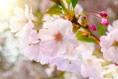 Dreamy spring blossoms Royalty Free Stock Photography