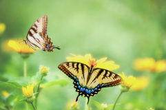 Dreamy Tiger Swallowtails on Marigolds Royalty Free Stock Photo