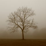 Dreamy Tree. Dreamy, Ghostly, Solitary Tree Photographed with a Sepia Filter in a Misty Foggy Field Royalty Free Stock Images