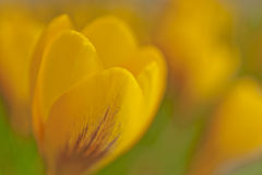 Dreamy yellow crocus in spring macro Stock Photo