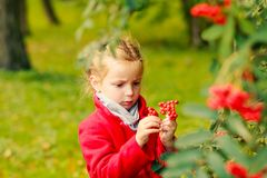 Dreamy young blonde girl hold in hands Rowan berries and look on it. Autumn park. Fall season.Cute child in red coat has royalty free stock photography