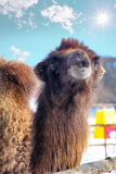Dreamy Camel Royalty Free Stock Photos