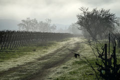 Dreary morning fog in a Napa California vineyard in winter Stock Images