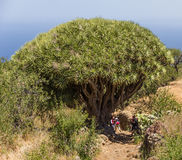 Drecaena draco tropical gigantic tree of La Palma Stock Image