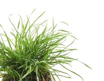 Grass with roots. Dreen grass with roots on a white background Royalty Free Stock Images