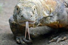 Dregla Komodo arkivfoton