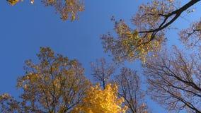 Drehende Ahornbäume mit fallenden Blättern, hohe Winkelsicht stock video