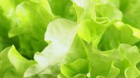 Drehender frischer grüner Kopfsalat verlässt nah oben stock footage