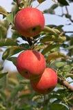 Drei Äpfel lizenzfreies stockbild