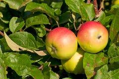 Drei Äpfel auf dem Zweig eines Apfelbaums lizenzfreie stockfotografie