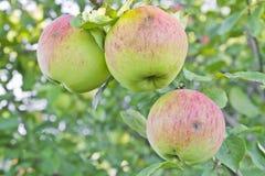 Drei Äpfel auf einer Niederlassung lizenzfreie stockfotografie