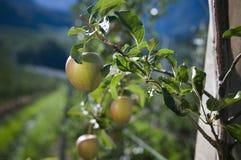Drei Äpfel auf Zweig Stockfoto