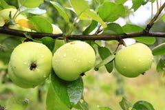Drei Äpfel, die in der Reihe auf der Niederlassung hängen Lizenzfreie Stockfotografie