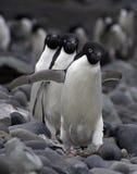 Drei Adele-Pinguine Lizenzfreie Stockbilder