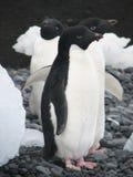 Drei Adelie-Pinguine Stockfotografie