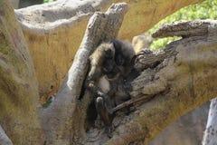 Drei Affen auf Baum Stockfotos
