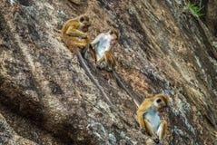 Drei Affen auf dem Felsen Sigiriya, Sri Lanka Stockfotos
