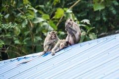 Drei Affen sitzen und spielen auf dem Dach Lizenzfreie Stockbilder