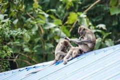 Drei Affen sitzen und spielen auf dem Dach Stockfotos