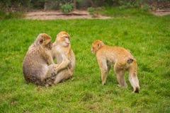 Drei Affen spielen auf einer grünen Wiese Stockfoto