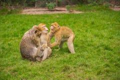 Drei Affen spielen auf einer grünen Wiese Stockfotografie