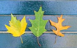 Drei Ahornblätter Stockfoto