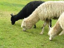 Drei Alpakas, die Gras essen Lizenzfreies Stockfoto