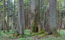 Drei alte Bäume im Frühjahr Lizenzfreies Stockfoto