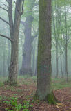 Drei alte Bäume im Nebel Lizenzfreies Stockfoto