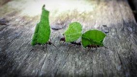 Drei Ameisen, die Grünblätter auf strukturiertem Holz tragen stockbilder