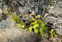 Drei Anlagen auf einem Felsen Stockfoto