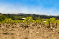 Drei Anlagen Sonnenblume Stockfotos